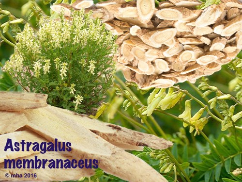 astragalus plant and roots