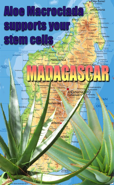 Aloe Macroclada supports the release of your stem cells
