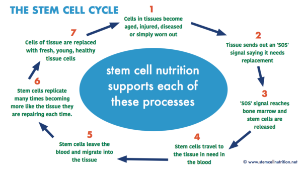diagram of the stem cell cycle