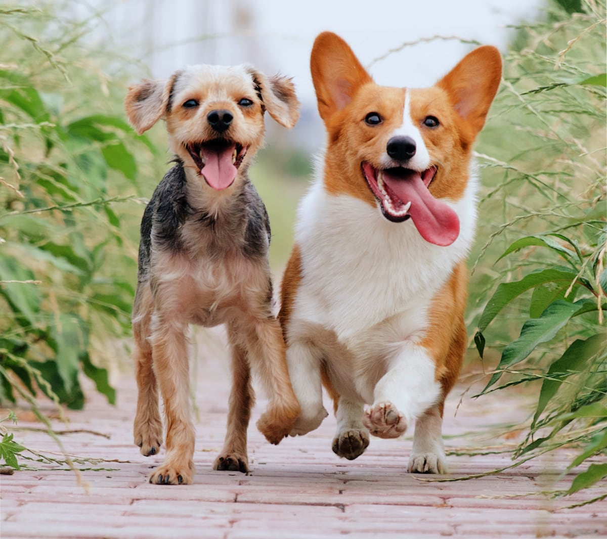 Two happy active dogs running