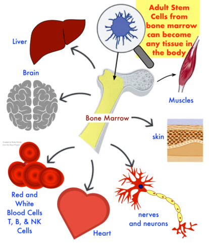 Adult Stem Cells can become any tissue in your body