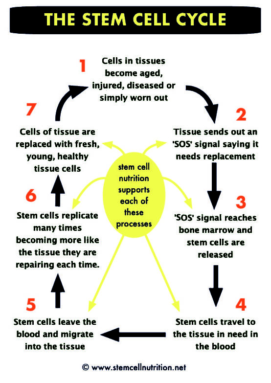 how stem cells repair and renew our tissues.