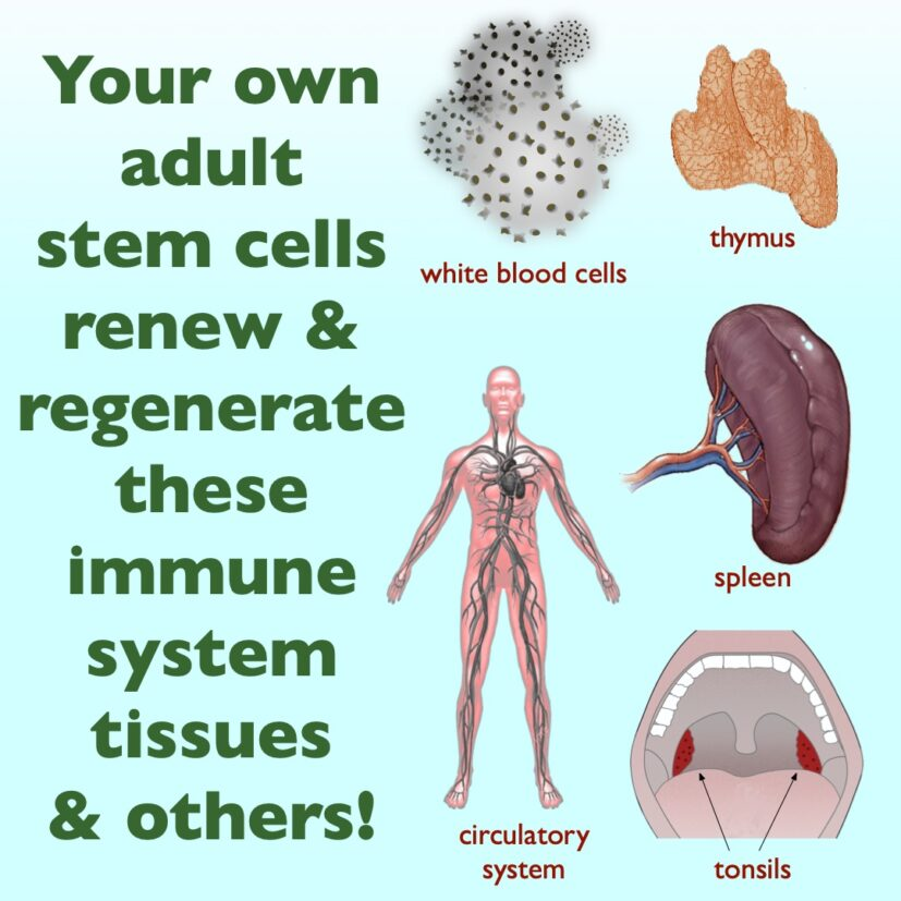 Stem Cells can regenerate immune system tissues